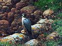 View Peregrine Falcon