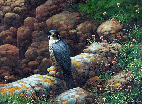 Click to enlarge Peregrine Falcon by Julian Friers PRUA