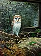 View Barn Owl